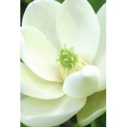 Magnolia virginiana 'Moonglow' - summer flowers