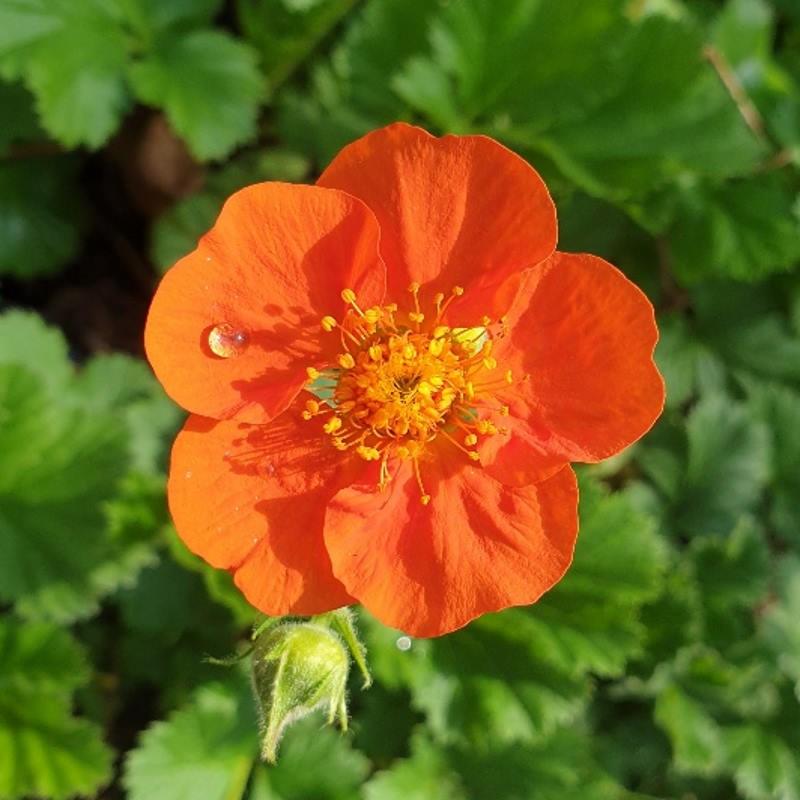 Geum borisii - summer flowers