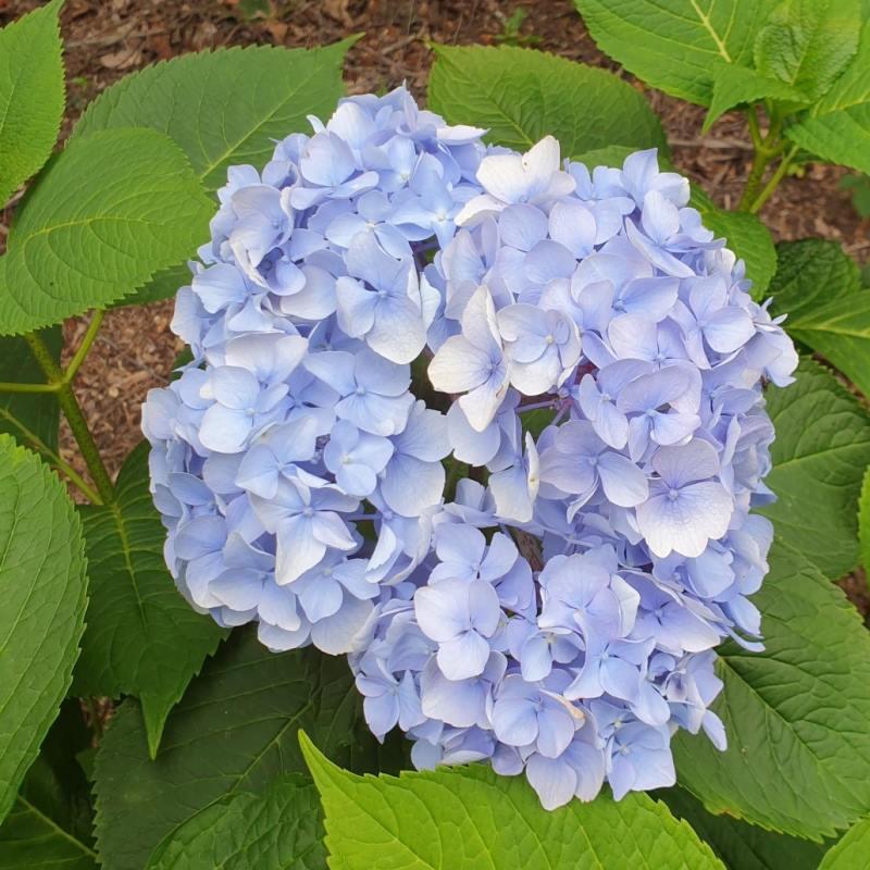 Hydrangea macrophylla 'Generale Vicomtesse de Vibraye' - summer flowers