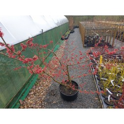 Hamamelis x intermedia 'Rubin' - established container grown plant