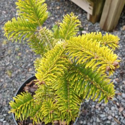Abies nordmanniana 'Golden Spreader' - winter colour on a young plant
