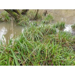 Carex pendula - growing by pond