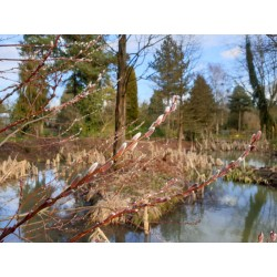 Salix udensis 'Sekka' - catkins