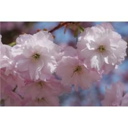 Prunus 'Daikoku' - spring flowers