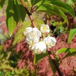 Rehderodendron macrocarpum - flowers in early summer