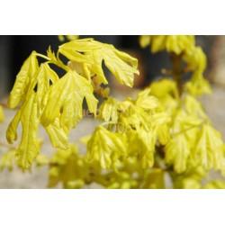 Acer campestre 'Postelense' - golden leaves in early summer