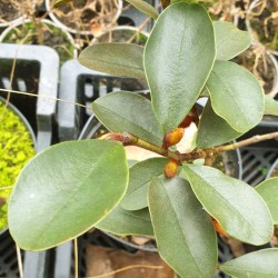 Magnolia laevifolia - evergreen leaves in winter