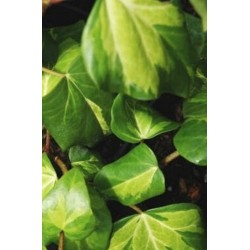 Hedera colchica 'Sulphur Heart' - leaves