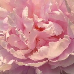 Paeonia lactiflora 'Sarah Bernhardt' - flower