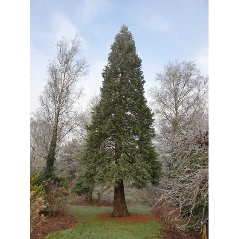 Sequoiadendron giganteum - approx 18 year old tree in January