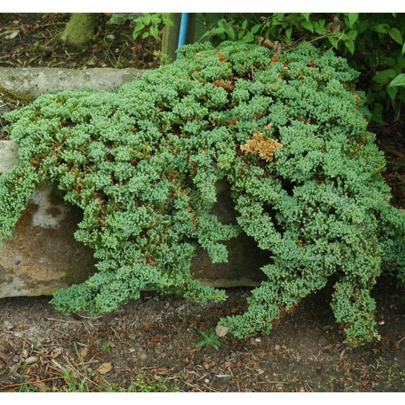 Juniperus procumbens 'Nana' - Bonin Island Juniper