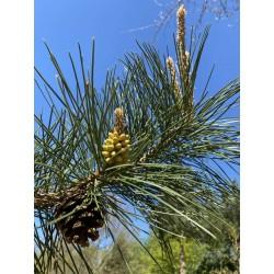 Pinus tabuliformis - flowers