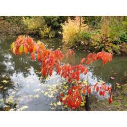 Cornus kousa 'Bultinck's Giant Flower' - autumn colour