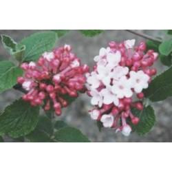 Viburnum carlesii 'Diana' - spring flowers