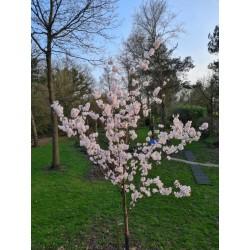 Prunus 'Pandora' - flowers in spring