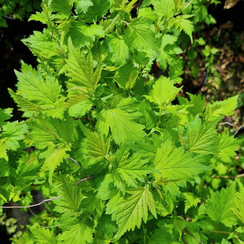 Neillia uekii - spring leaves