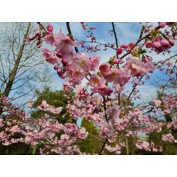 Prunus 'Accolade' - spring flowers