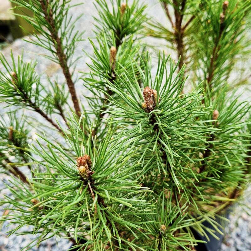 Pinus mugo - dark green needles