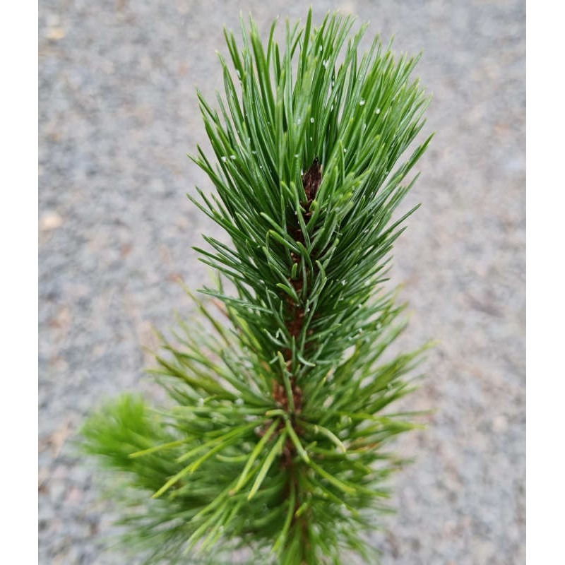 Pinus aristata - young plant