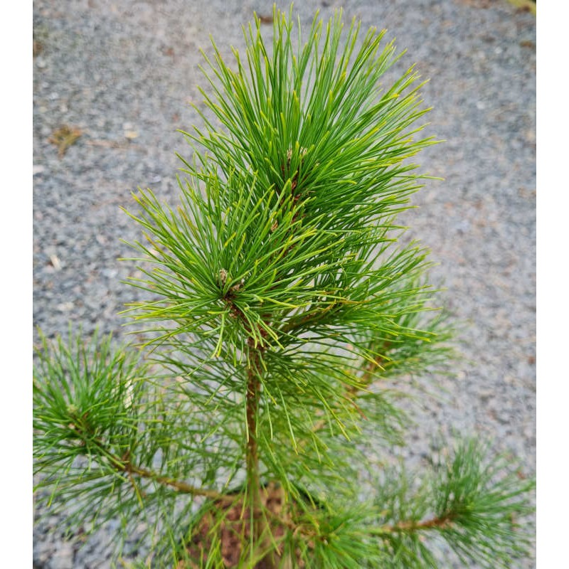 Pinus peuce - young plant