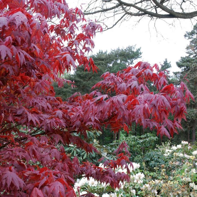 Acer palmatum 'Atropurpureum' - spring/summer purple leaves