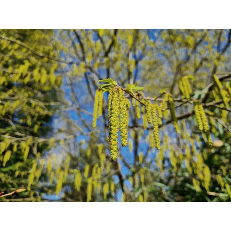 Ostrya carpinifolia- spring catkins