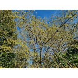 Ostrya carpinifolia - catkins on an established tree