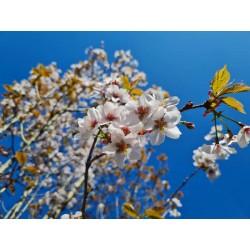 Prunus x hillieri 'Spire' - spring flowers