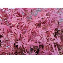 Acer palmatum 'Atropurpureum' - close up of spring leaves