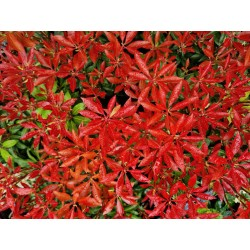 Pieris japonica 'Mountain Fire' - colourful spring leaves