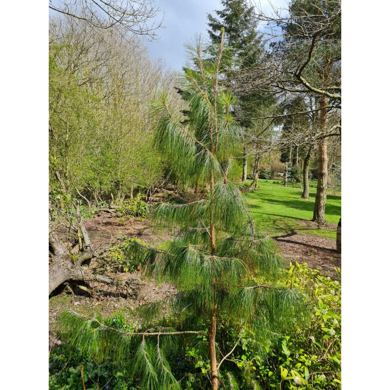 Pinus patula - 5 to 6 year old specimen growing in Derbyshire