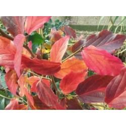 Parrotia persica 'Bella' - autumn colour