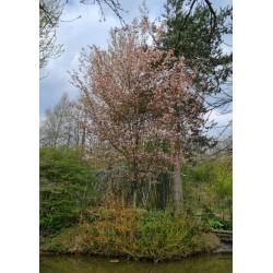 Amelanchier x grandiflora 'Robin Hill' - established small tree