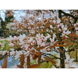 Amelanchier x grandiflora 'Robin Hill' - spring flowers