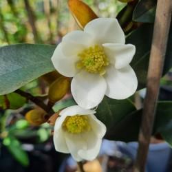 Magnolia laevifolia - spring flowers