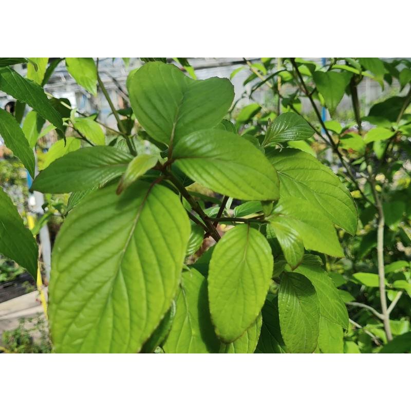 Cornus macrophylla - leaves in Spring