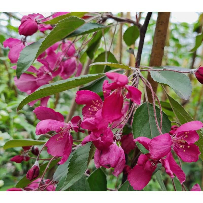 Malus x 'Crimson Cascade' - spring flowers close up