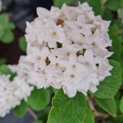 Viburnum carlesii 'Compactum' - spring flowers