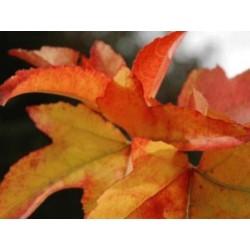 Liquidambar styraciflua 'Palo Alto' - autumn colour