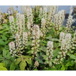 Tiarella 'Spring Symphony' - white flowers in May