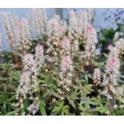 Tiarella 'Raspberry Sundae' - flowers in May