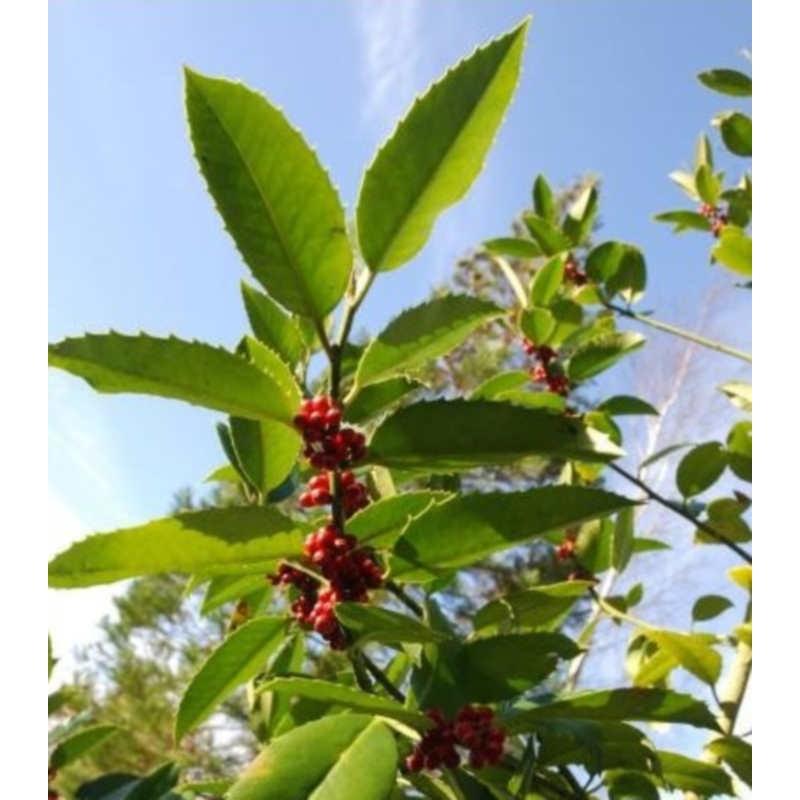 Ilex x koehneana - fruit