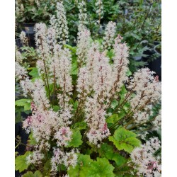 Tiarella 'Tiger Stripe' - spring flowers