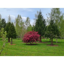 Malus 'Indian Magic' - established tree flowering in May