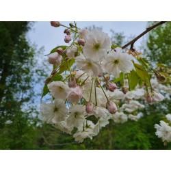Prunus 'Shogetsu' - flowers in May