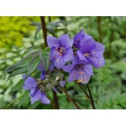 Polemonium yezoense 'Purple Rain' - flowers in May