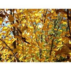 Betula medwedewii 'Gold Bark' - autumn colour
