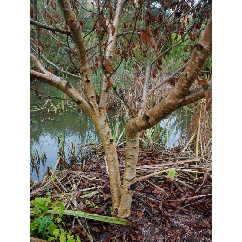 Betula medwedewii 'Gold Bark' - mature bark colour
