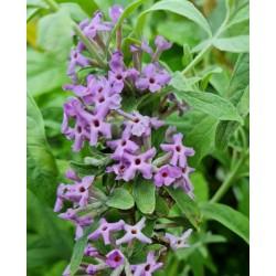 Buddleja alternifolia 'Argentea' - flowers in late spring
