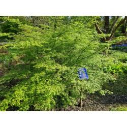 Euonymus alatus - summer leaves